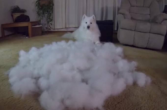 雲!?それとも雪景色!?と思ったらブラッシング後の大量の抜け毛!サモエド犬の毛量に驚愕
