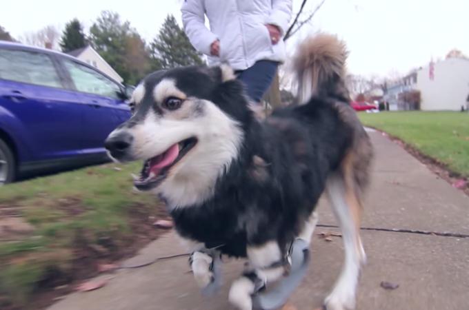 前足に障害をもつ犬を救ったのは最先端の技術!3Dプリントの義足で風になった感動の動画