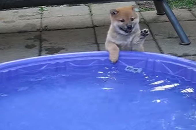 「入ってみたいけど、やっぱり怖い。」初めてのプールにはしゃぐ子犬が可愛すぎると話題に!