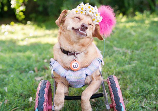 障害を持って生まれ1度は捨てられた犬が世界中に勇気を与える感動のお話