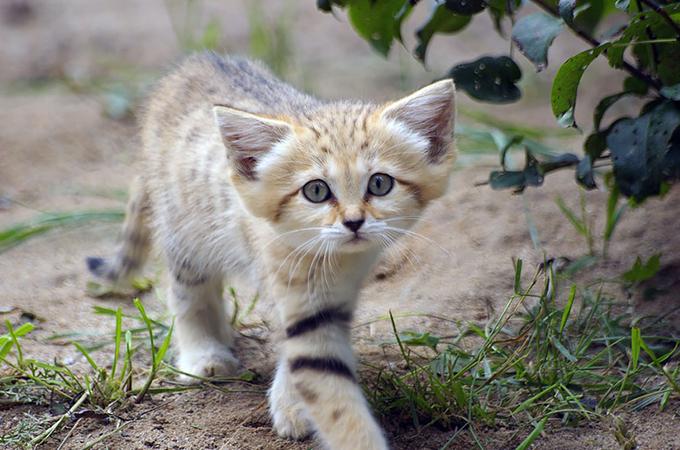 永遠に子猫のまま?大人になっても子猫のように可愛いSand Cats
