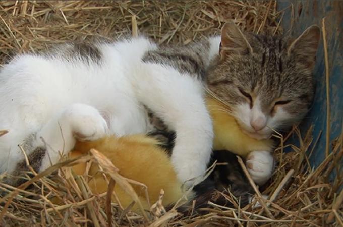親を亡くした3羽のアヒルの子を育てる猫。我が子のように愛する姿に感動
