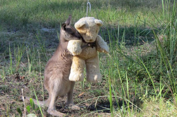 母を亡くしたカンガルーの赤ちゃんが母を想いぬいぐるみを抱きしめる