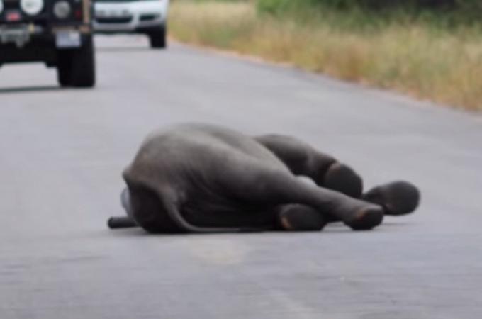 膝から崩れ落ち倒れてしまった子ゾウを救ったのは温かい家族愛