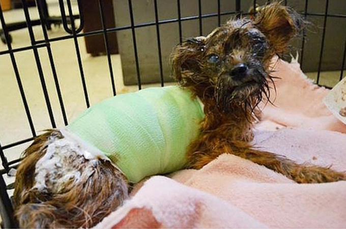 酸によりひどい科学火傷を負わされた1匹の子犬の懸命の治療