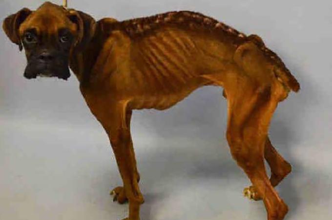 骨が浮き出るほど痩せこけるまで放置されたボクサー犬が発見される