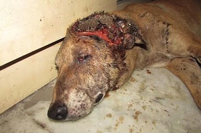 ウジがわくほどの大ケガを頭に負った犬が救出され再び笑顔になるまで