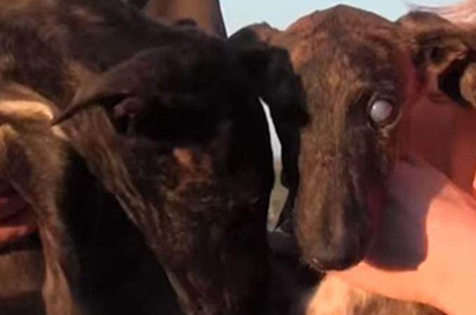 飼育放棄され飢えに苦しんでいた盲目の妹を支え続けた兄犬に感動