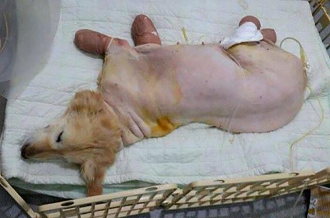すべての足を失った悲しい過去を持つ1匹の犬が新しい家族と出会う