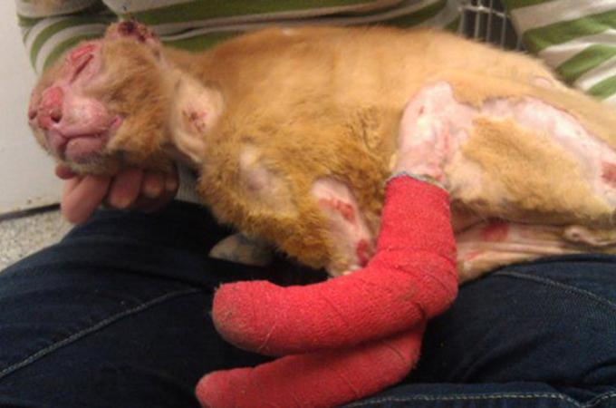 火災に巻き込まれ大やけどを負った猫が今は動物病院で看護師になる