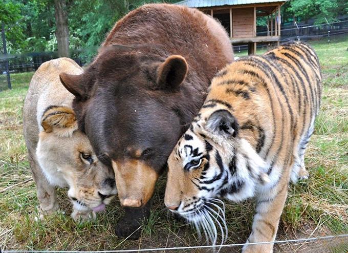 虐待を受けながら共に育ったクマ・ライオン・トラの間に生まれた絆