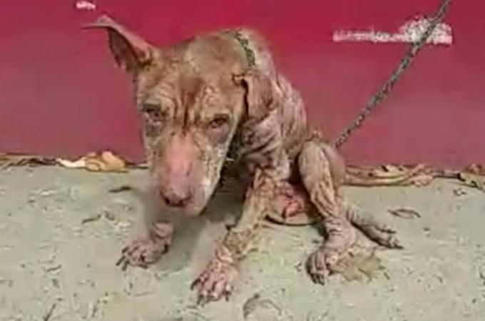 感染症で体毛のほとんどを失い骨が浮き出るほど痩せこけた犬が発見される
