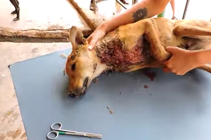 血だらけで死亡寸前の怯えていた1匹の犬が最も幸せな犬になるまで