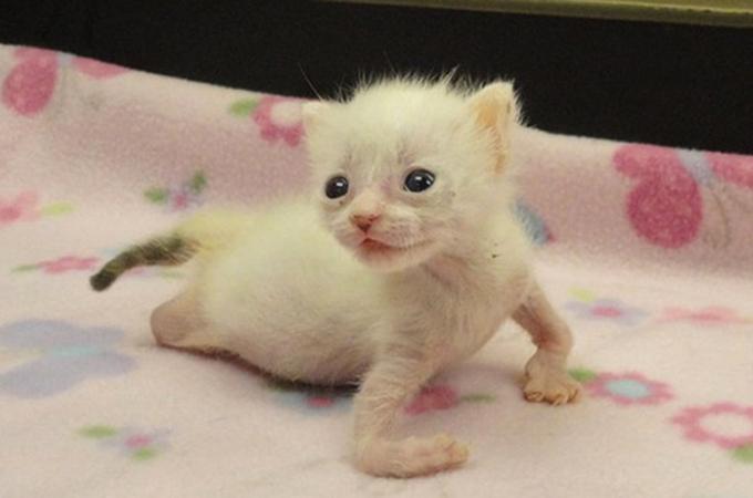 ねじれた腕と脚を持って生まれたことで棄てられた猫「プレッツェル」