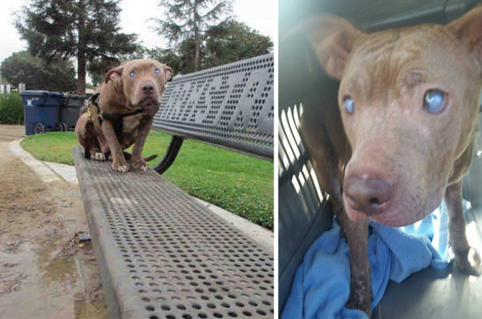 公園に捨てられた盲目のピットブル。保護したら母犬だということが判明