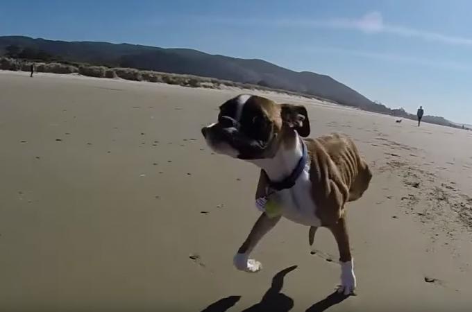 【動画】先天性の病気で後ろ足がないボクサー犬が2本足で 力強く海辺を走り回る
