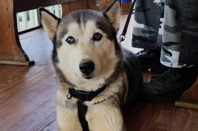 「この子はもういらない」と捨てられたハスキー犬。保護した男性「バカな元飼い主へ かわいくて優秀なハスキーをありがとね。」