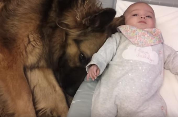 【動画】赤ちゃんのそばで優しく見守るシェパードに思わずほっこり
