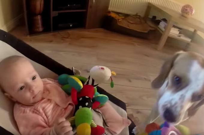 赤ちゃんのおもちゃを横取りして泣かせてしまったビーグル犬。その後の行動に思わずほっこり!