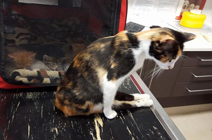 トレーラーに向かって投げられた瀕死の母猫が子猫を求めさまよう