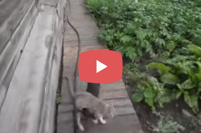 【動画】帰りの遅い猫を迎えに行く犬の猫の連れもどし方がやばいと話題に!