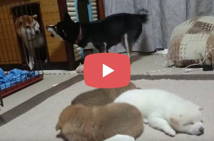 【動画】寝ている子犬たちとどうしても遊びたいパパ犬。ママ犬に怒られ思わず肩を落とす!