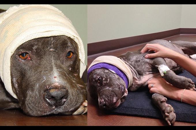 飼い主にみはなされ全身傷だらけ、耳を切断したピットブルが生まれ変わる