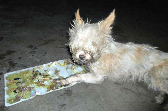 飼い主とはぐれ倉庫でネズミ捕りにかかり瀕死の状態で発見されたチワワ