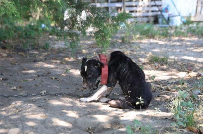 肉体、精神ともに崩壊し、車の車軸にチェーンで繋がれていた1匹の犬
