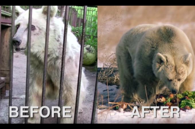 サーカスの芸のため虐待され続けたクマ。無事に保護され30年ぶりに冬眠する