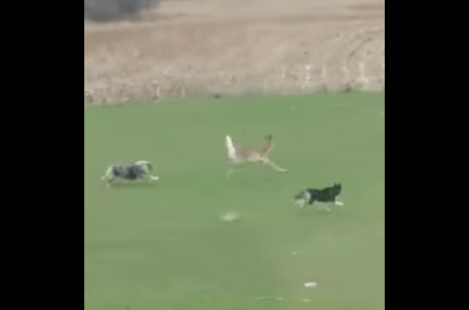 【動画】庭に侵入してきたシカ。犬2匹で追い出すのかと思いきや、その後まさかの展開に!