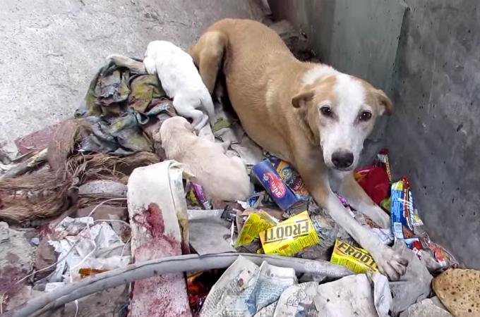 ガラスで怪我を痛みに耐えながらもゴミ溜めで生活する犬の親子