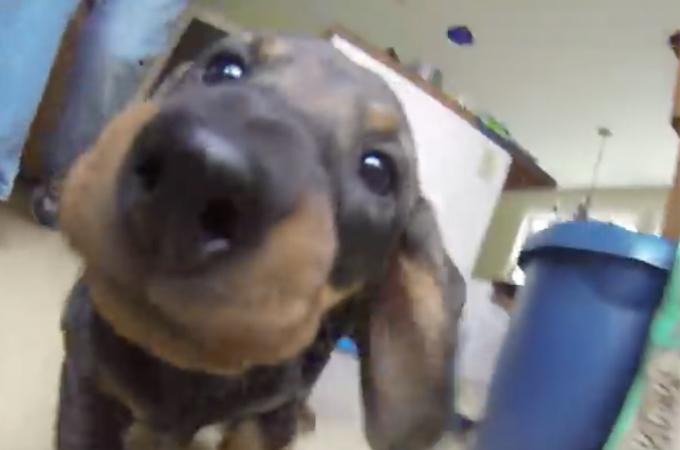 【動画】迫り来るダックスの赤ちゃん!犬と同じ目線になって撮影した動画が可愛すぎる!