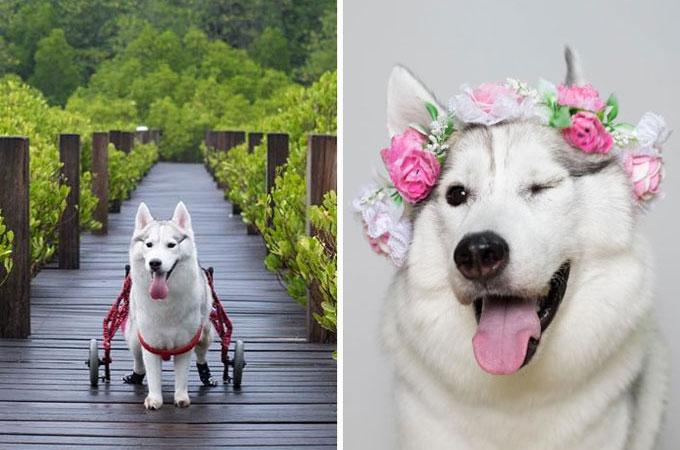足に先天性異常を抱えたハスキー。障害をものともしない素敵な笑顔に感動