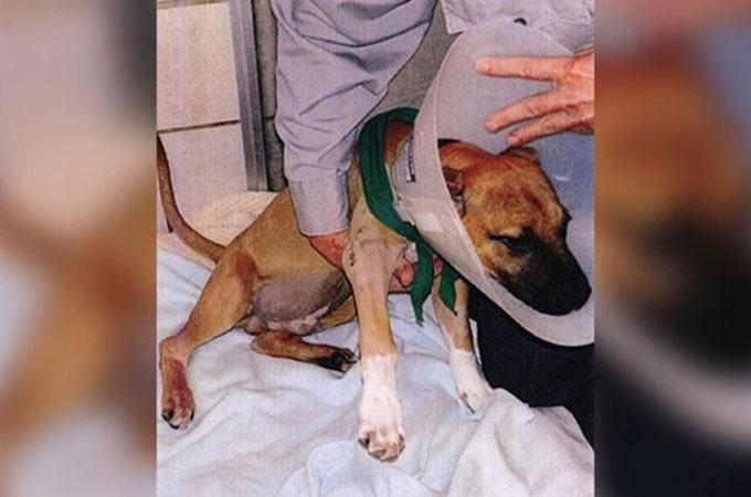 飼い主の虐待によって肩を粉々に砕かれたピットブルの「ルーク」