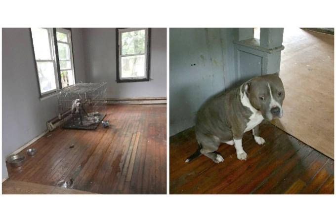 飼い主が引っ越す時に、そのまま置き去りにされてしまった2匹のピットブルが無事に救出される