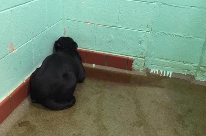 施設の部屋の隅に体を押し付け、自分の排泄物の上に横たわるラブラドール。1人の女性の言葉によって運命が変える