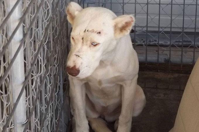 虐待、そして犬小屋へ完全に閉じ込められ飼い主から見捨てられた犬
