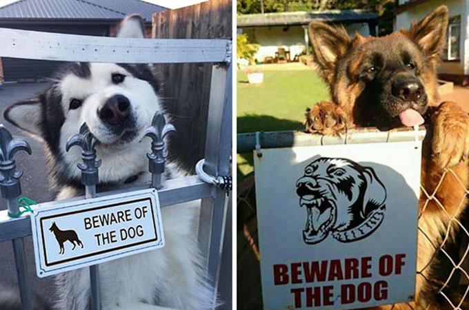 「猛犬注意!!」の看板に思わず目を疑う驚くほど可愛い猛犬たちの姿