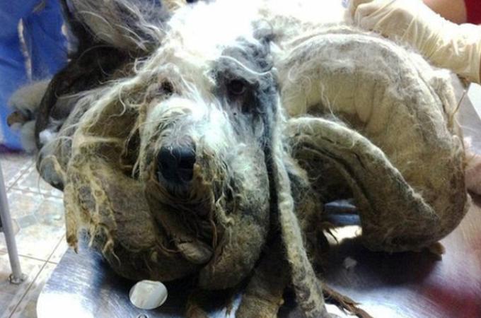 アパートに1年も放置され伸びきった毛で苦しんでいた犬がようやく救われる。