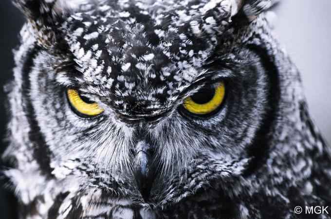 【画像】福郎や不苦労など、縁起がいいとも言われる魅力的なフクロウの画像25選