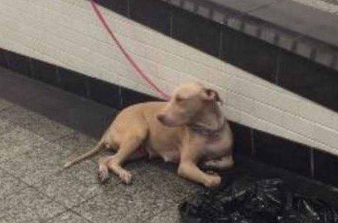 地下鉄で紐に繋がれた状態で捨てられた犬。その犬は、出産後の母犬だったことが保護されて判明する