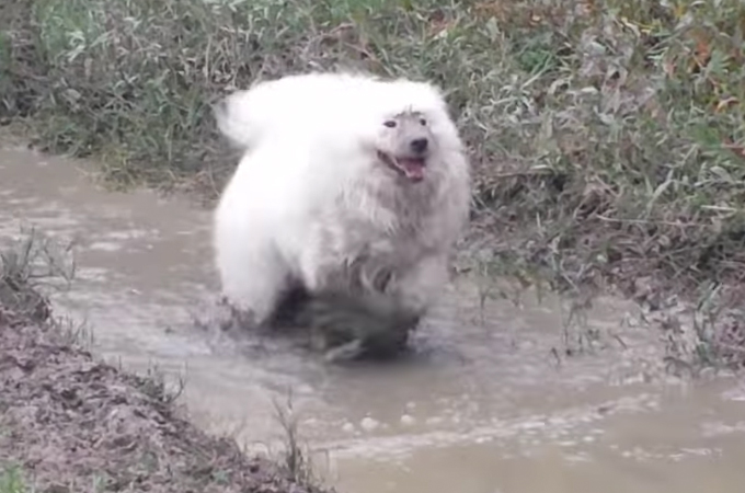 【動画】シャンプーの日だからと泥んこ遊びを許された真っ白のサモエド犬がはしゃぎまくる!
