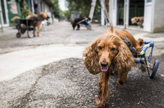 足の不自由な犬たちが走り回れる動物病院。再び走れる喜びに明るく過ごす犬たち
