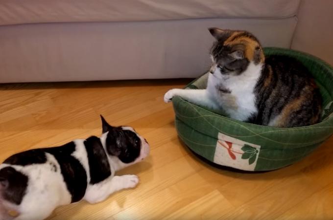 【動画】なんとしてでもベッドを取り返したい子犬 vs 早い者勝ちだと主張し居座る猫