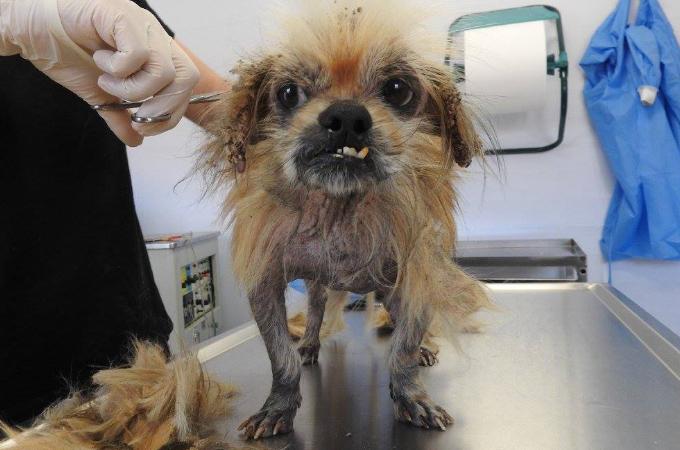 身元は判明を恐れた元飼い主によって無理やり首元からマイクロチップを取り外され捨てられた犬。
