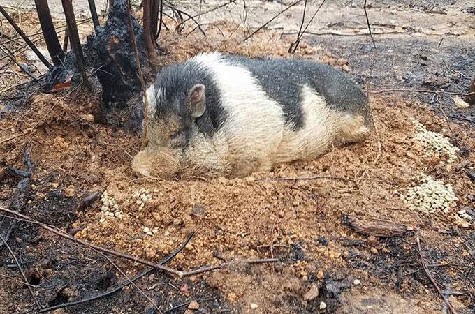 山火事の中置き去りにされたペットの豚が焼失した家で家族の帰りを待つ