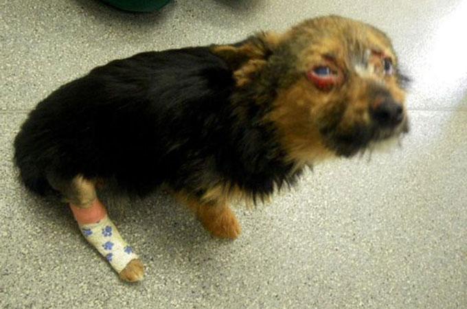 4人の10代の若者に誘拐され、最も残酷な方法で拷問をされた犬のチャンキー