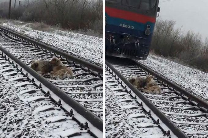 ケガを負った犬を守るため列車が来てもそばに寄り添い続けたもう1匹の犬