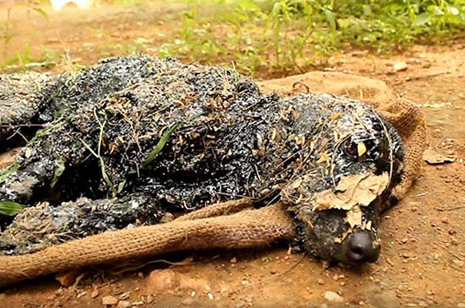 頭のてっぺんからつま先までタールにまみれ瀕死の状態で発見された犬